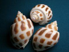 貝の標本(現生) ゾウゲバイの貝殻 45-50mm1個