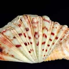15�p 貝コレクション 標本 貝殻 標本 珍品?