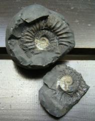 ☆即決☆アンモナイトの化石 433g
